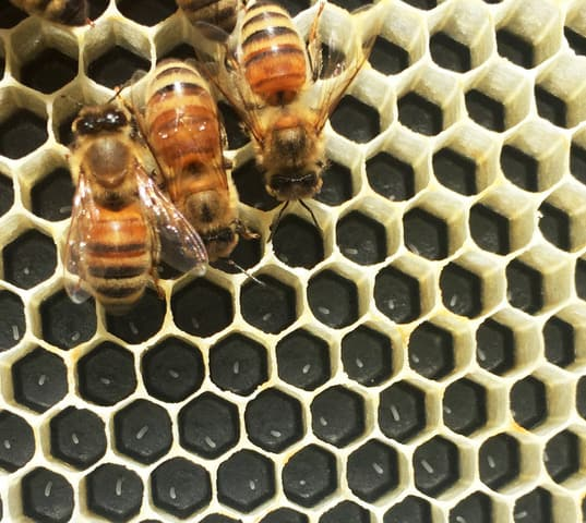 bees in comb