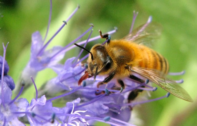 Honey Bee on purple flower